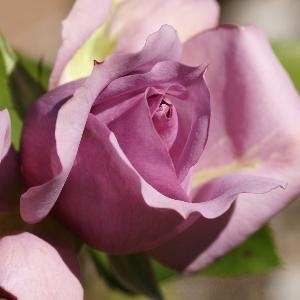 purple rose2